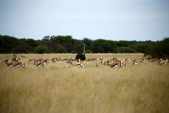 Ostrich & Springbok Plains Game. The Springbok antelope are South Africa`s rugby emblem they are also the favourite food of lion hyena leopard & cheetah Stock Image