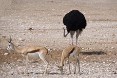 Ostrich and springboks hanging out together. In Etosha National Park, Namibia Royalty Free Stock Photos