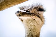 Ostrich squinted and looked at the camera. Ostrich squinted and looked at the camera incredulously Royalty Free Stock Photo