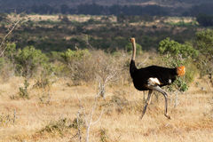 Ostrich standing on the African savannah on background of tall grasss Stock Photography