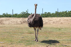 Ostrich standing Royalty Free Stock Images