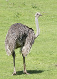 Ostrich. An ostrich standing on the grass Royalty Free Stock Photography