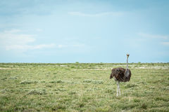 Ostrich standing in the grass. Stock Photography