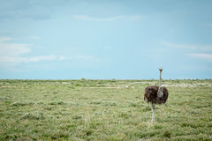 Ostrich standing in the grass. Ostrich standing in the grass in the Etosha National Park, Nambia Royalty Free Stock Photo