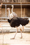 The ostrich Stock Photography