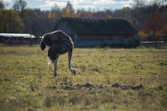 Ostrich stands on an ostrich farm and looking for food royalty free stock photography