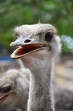 Ostrich stares into the camera Stock Images