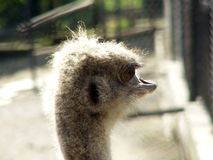 Ostrich staring aside Royalty Free Stock Photography
