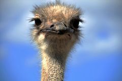 Ostrich. Staring close in the camera Stock Photo