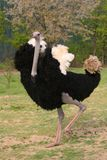 Ostrich Stock Images