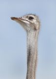 An Ostrich stretching its neck Royalty Free Stock Images