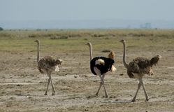 Ostrich; Struisvogel; Struthio camelus royalty free stock photo