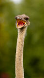 Ostrich, Struthio camelus Royalty Free Stock Photography