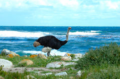 Ostrich (Struthio camelus) Royalty Free Stock Images