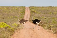 Ostrich (struthio camelus). Couple of ostriches (struthio camelus) at the Bontebok National Park in South Africa Royalty Free Stock Image