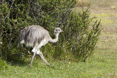 Ostrich chick. Young ostrich  (struthio camelus) in the National Park Torres del Paine in Patagonia, Chile Stock Images