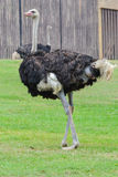 Ostrich (Struthio camelus). Walk on green grass Stock Photos