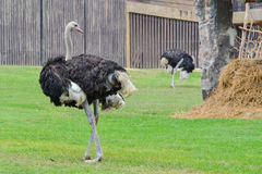 Ostrich (Struthio camelus). Walk on green grass Royalty Free Stock Image