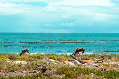 Ostrich (Struthio camelus) Cape of Good Hope, South Africa. Royalty Free Stock Photo