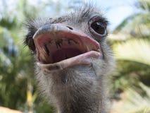 Ostrich, Struthio camelus. Close up Stock Photo