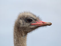 Ostrich (Struthio camelus) Royalty Free Stock Photo