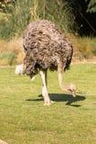 Ostrich. Dublin zoo. Ireland