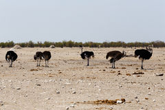 Ostrich Struthio camelus, in Etosha, Namibia Stock Photography