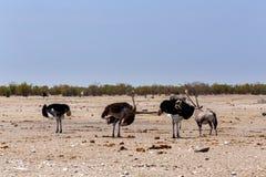 Ostrich Struthio camelus, in Etosha, Namibia Stock Photo