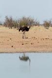 Ostrich Struthio camelus, in Etosha, Namibia Royalty Free Stock Photos
