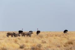 Ostrich Struthio camelus, in Etosha, Namibia Royalty Free Stock Images
