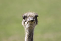 Ostrich Struthio camelus face Royalty Free Stock Images