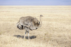 Ostrich (Struthio camelus) female foraging Stock Image