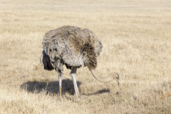 Ostrich (Struthio camelus) female foraging Stock Photography