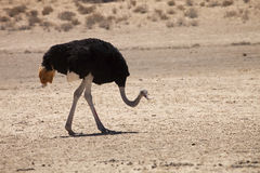 Ostrich, Struthio camelus,Gemsbok National Park, South Africa Stock Image