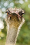 Ostrich or Struthio camelus Stock Image