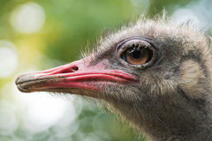 Ostrich or Struthio camelus head Royalty Free Stock Photo