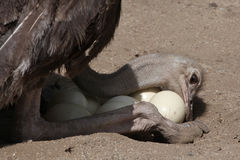 Ostrich (Struthio camelus) inspects its eggs in the nest. Royalty Free Stock Photography