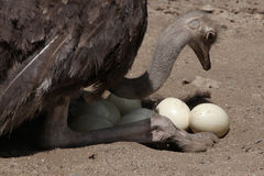 Ostrich (Struthio camelus) inspects its eggs in the nest. Stock Photos