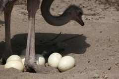 Ostrich (Struthio camelus) inspects its eggs in the nest. Royalty Free Stock Images