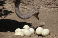 Ostrich (Struthio camelus) inspects its eggs in the nest. Royalty Free Stock Image
