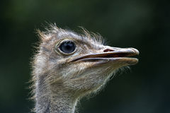 Ostrich (struthio camelus) Stock Images