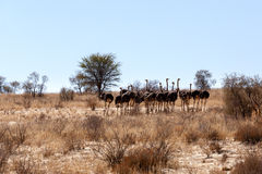 Ostrich Struthio camelus, in Kgalagadi, South Africa Stock Photography