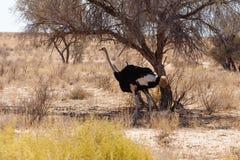 Ostrich Struthio camelus, Kgalagadi, South Africa, safari wildlife. Ostrich, Struthio camelus in Kalahari desert, Kgalagadi transfontier park, South Africa Stock Image