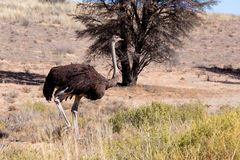 Ostrich Struthio camelus, in Kgalagadi, South Africa Royalty Free Stock Image