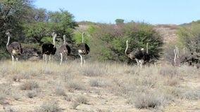 Ostrich Struthio camelus, in Kgalagadi, South Africa stock footage