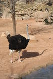 Ostrich - Struthio camelus Royalty Free Stock Images