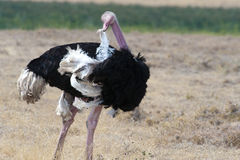 Ostrich  (struthio camelus) Stock Photography