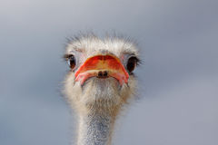 Ostrich (Struthio camelus). Royalty Free Stock Photos