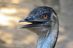 Ostrich. Ostrich (struthio camelus) is a member of a group of birds known as ratites, that is they are flightless birds without a keel to their breastbone. Of Stock Photo