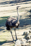 Ostrich (Struthio camelus) Stock Photos